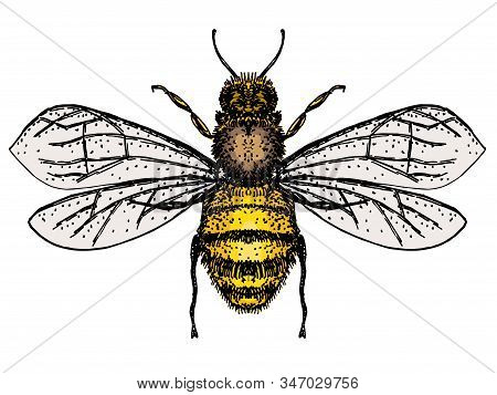 Vector Engraving Illustration Of Honey Bee Isolate On White Background. Bee Logo, Hand Drawn Sketch