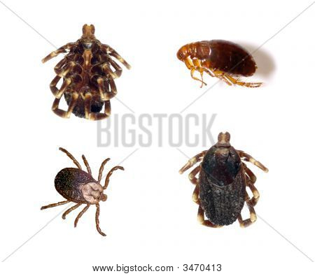 Ticks And Flea
