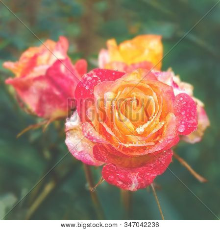A Beautiful Two-tone Rose Grows In The Garden. Close Up. The Name Of The Variety, The Empress Farah.