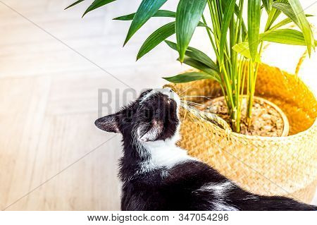 Black And White Cat Sniffs A Green Plant In A Wicker Basket. Free Space