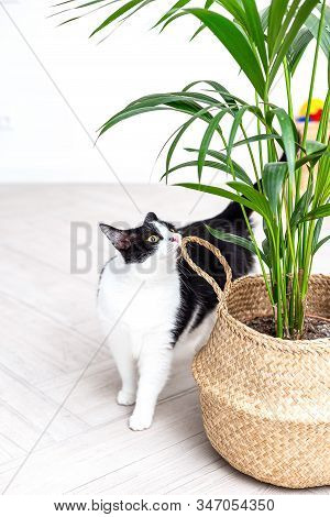 Black And White Cat Sniffs A Green Plant In A Wicker Basket. Vertical Photo