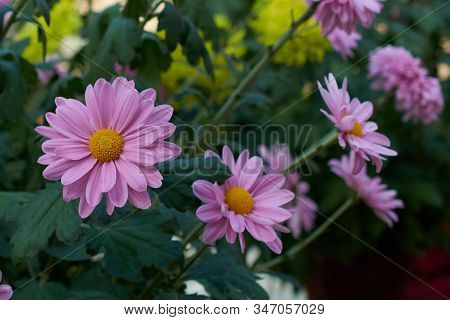 Chrysanthemum Grandiflorum Ramat. Minos. Decorative Composition Of Pink Chrysanthemum Flowers, Autum