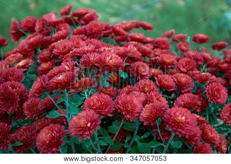 Chrysanthemum Indicum L. Rubin Tufanica. Decorative Composition Of Red Chrysanthemum Flowers, Autumn