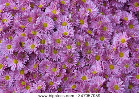 Decorative Composition Of Pink Chrysanthemum Indicum L. Adena Tufanica, Autumn Bouquet. Magenta Chry