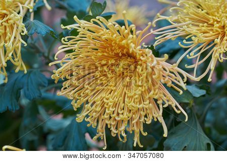 Chrysanthemum Grandiflorum Ramat.