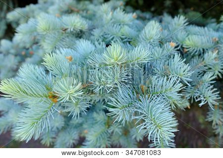 The Branches Of The Blue Spruce Close-up. Blurred Focus. Blue Spruce Or Prickly Spruce (picea Pungen