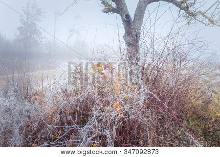 Leftover Autumnal Leaves On A Rimy Rosebush