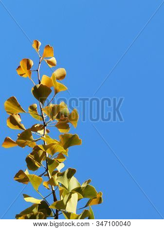 Yellow Autumn Leaves On The Branches Of A Japanese Gingo Tree Against The Blue Sky. Copispeses For T