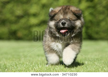 Caucasian Shepherd Dog Puppy Running