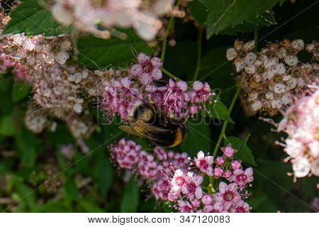 Bumble Bee On A Pink Flower, Bumble-bee Sitting On Wild Flower, Macro Photography Of A Bumble Bee