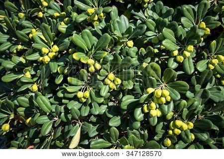A Beautiful Decorative Evergreen Shrub With Light Green Fruits.  Australian Laurel, Japanese Pittosp