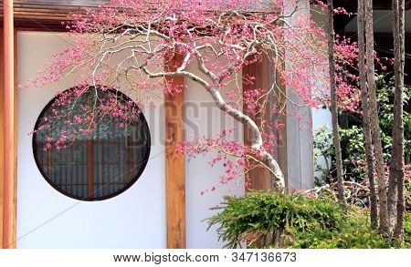 Ancient pavilion with a round window and a tree with pink leaves in traditional japanese ornamental garden. Spring time in Hasedera temple, Kamakura, Japan