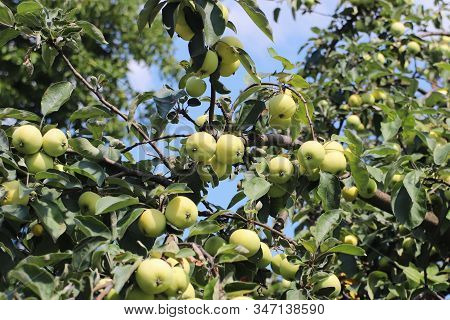 A Tree With Maturing Fruits Of A Green Apple. Vintage Fruits Rich In Vitamins. Fruit Trees For The G