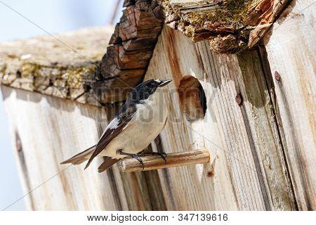 European Pied Flycatcher Ficedula Hypoleuca Male Sitting Near Hole Of Birdhouse. Cute Bright Forest