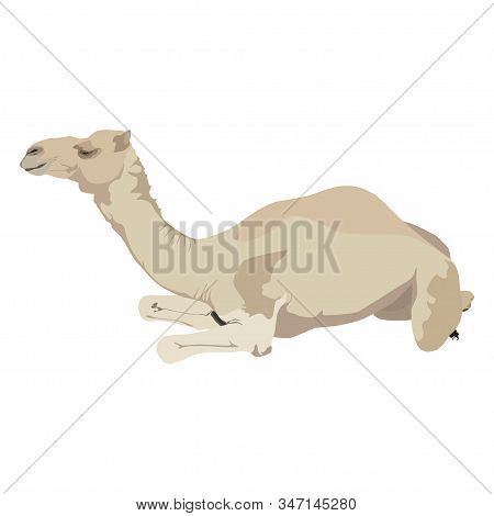 Arabian One-humped Camel Dromedary, Vector Illustration Isolated On White Background.