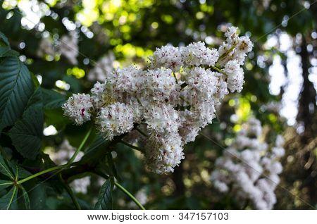 Chestnut Tree Blossom In Spring. Spring Blooming Chestnut. Chestnut Tree Blossom. Nature Park. Petal