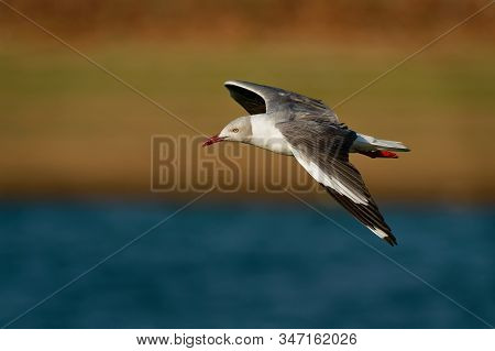 Grey-headed Gull - Chroicocephalus Cirrocephalus Also Grey-hooded Gull, Small Gull Which Breeds Patc