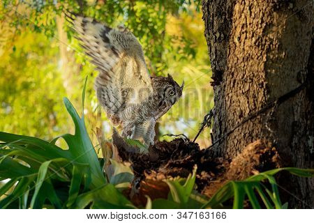 Spotted Eagle-owl - Bubo Africanus Also Called African Spotted Eagle-owl, And African Eagle-owl, Is