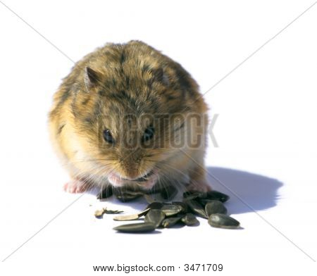 Campbell'S Dwarf Hamster On White Background