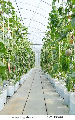 Row Of Japanese Melons Or Green Melon Or Cantaloupe Melons Plantation In Greenhouse Supported By Rop