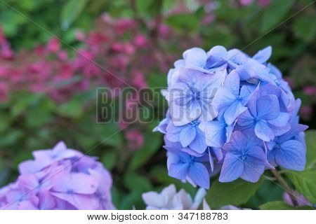 Hydrangea Blue Flower And Green Leaves With Drops After The Rain.hydrangea Blooms With Blue Flowers