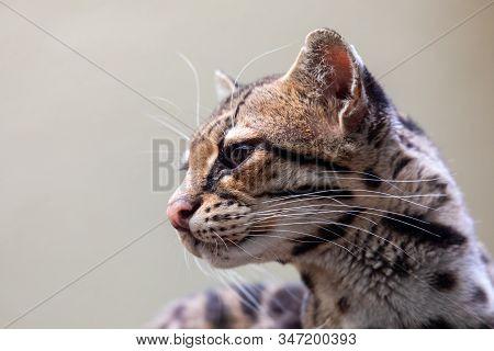 Margay, Leopardus Wiedii, A Rare South American Cat