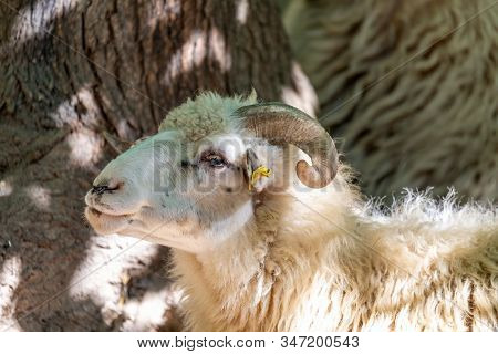 Ram Or Rammer, Male Of Sheep With Horns In Rural Farm