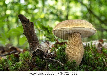 Edible Mushroom Boletus Reticulatus