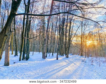 Winter Forest And Sun Through Tree Branches. Winter Landscape