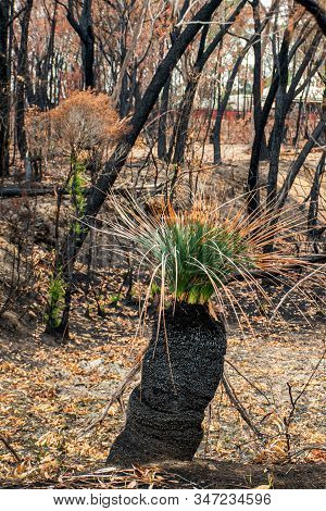 Australian Bushfires Aftermath: Grass Tree And Eucalyptus Trees Recovering After Severe Fire Damage.