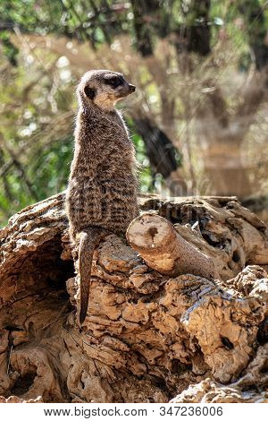 Meerkat, Suricata Suricata In Tabernas Desert, Andalusia, Spain In Europe