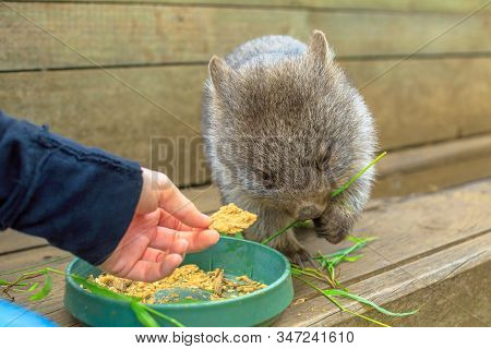 Closeup Of A Baby Cute Wombat, Vombatus Ursinus, Eating From Man Hand. Feeding Wombat Outdoor. The W
