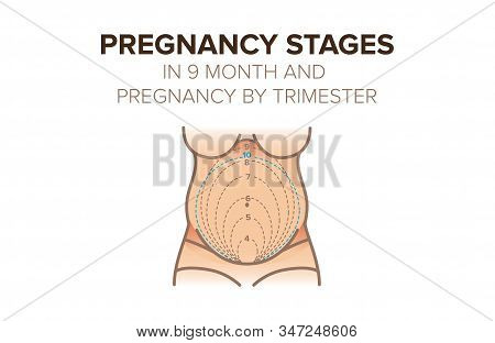 Pregnancy Stages In 9 Month. Pregnancy By Trimester