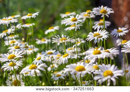 Summer Landscape With Field Of Camomiles At Sunny Day. Camomile Daisy Flowers, Wild Flowers For The