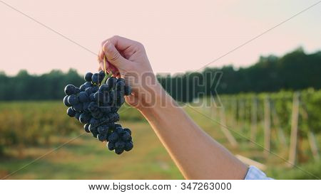 Big Juicy Bunches Of Ripe Grapes In Male Hands At Harvest Time For Wine. Man Testing Ripening Of Gra