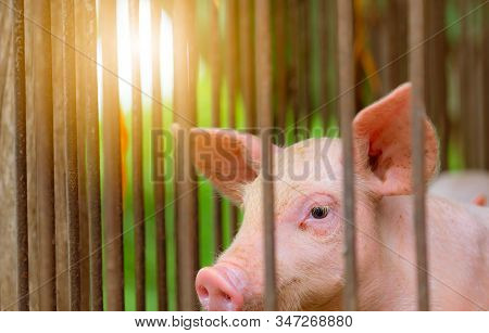 Little Pig In Farm. Small Pink Piglet. African Swine Fever And Swine Flu Concept. Livestock Farming.
