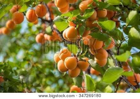 A Bunch Of Ripe Apricots Hanging On A Tree In The Orchard. Apricot Fruit Tree With Fruits And Leaves