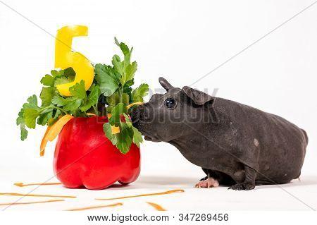 Black Skinny Guinea Pig With Vegetable Cake