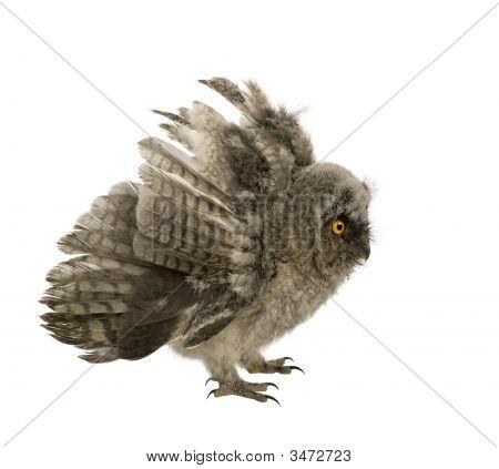 Long-Eared Owl - Asio Otus (7 Weeks)