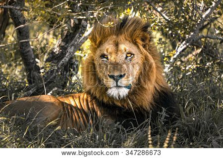 Male Lion, King Of Wildlife, Rests In Africans Wilderness In Kruger National Park