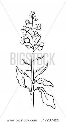 Canola, Mustard. Vector Plant With Leaf, Bud, Seed, Flower. Rapeseed Oil. Healthy Vegan Organic Food
