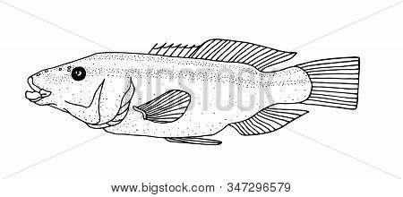 Peacock Wrasse. Black Hand Drawn Realistic Outline Vector Image.