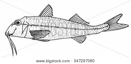 Red Mullet. Black Hand Drawn Realistic Outline Vector Image.