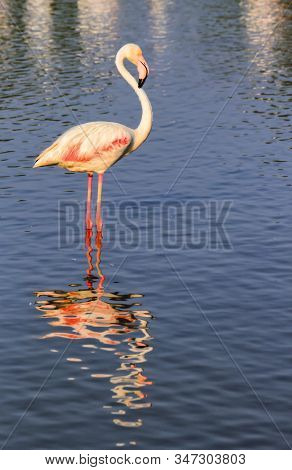Peaceful Flamingo In The Water In Camargue, France