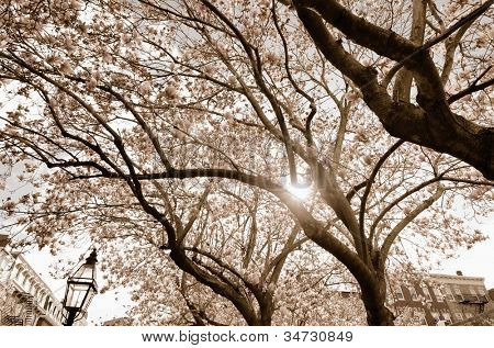 trees blooming in the spring