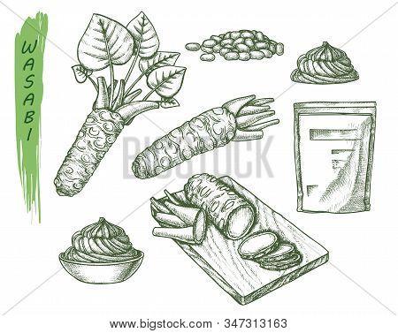 Vector Sketch For Wasabi Or Japanese Sashimi