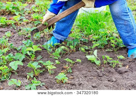 The Farmer With The Help Of A Hoe, With His Own Hands Weeds Strawberry Bushes And Removes Weeds From