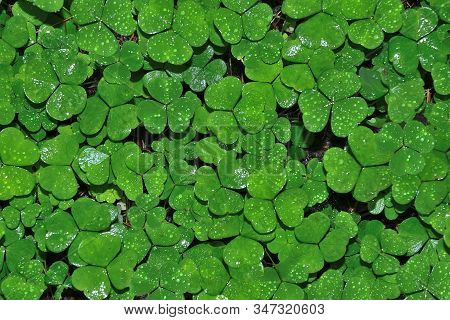Wet Leaves Of Clover With Water Drops After Rain - Natural Summer Or Spring Background. Bright Green
