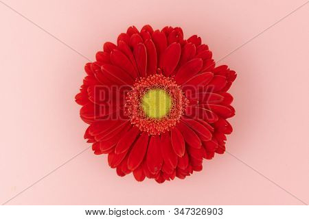 Big Red Gerbera Flower With A Yellow Center On A Pink Background Close Up. Greeting Card Holiday Con