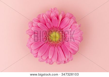 Big Pink Gerbera Flower With A Yellow Center On A Pink Background Close Up. Greeting Card Holiday Co